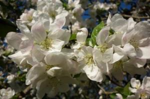 Apfel Blüte weiß