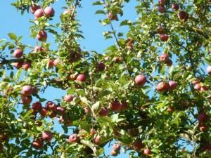 Apfel e