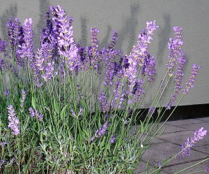 Fasten-Lavendel