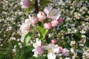 Apfelblüte rosa